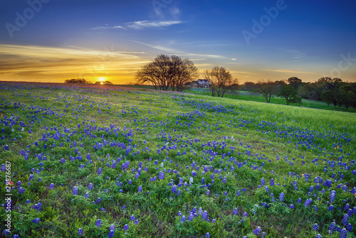 Deurstickers Weide, Moeras Texas bluebonnet field at sunrise
