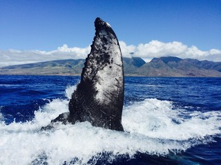 humpback whale slaps his tail, maui