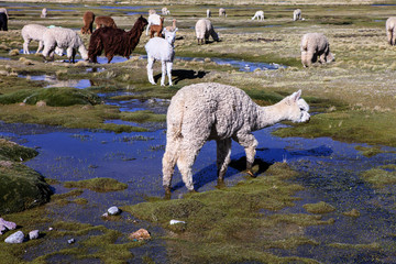 llamas Lama galama, grazing in the mountains, Peru