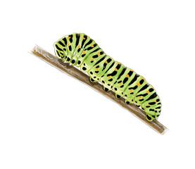 Machaon catterpillar