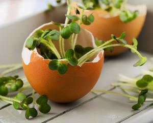 Fresh Cress salad in  brown eggshell.