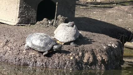 Wasserschildkröten genießen die Sonne