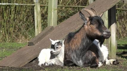 Ziege und Zicklein liegen auf der Weide