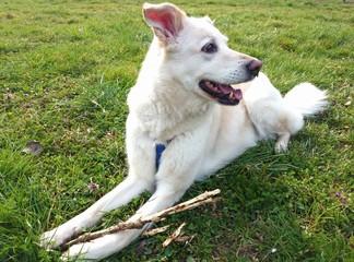 Cane con bastone di legno