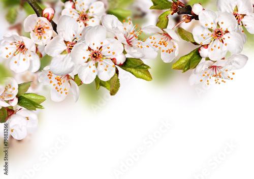 Fototapety, obrazy : Spring flowers background with white blossom