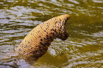 elephant's trunk protruding from the river