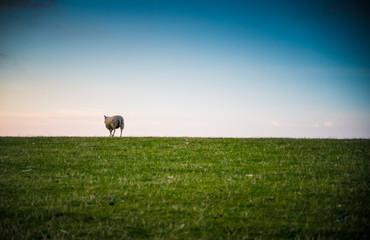 Schaf vor Sonnenuntergang