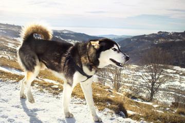 suberian husky walking along a mountain slope