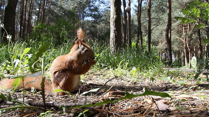 Red squirrel chews sunflower seeds in a pine forest, summer day