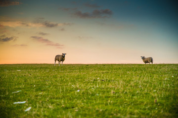 Zwei Schafe bei Sonnenuntergang