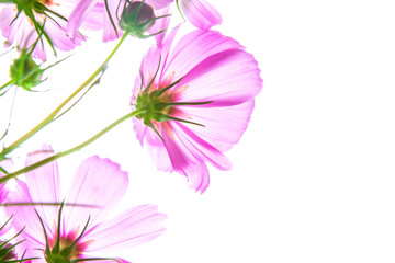closeup soft focus on the cosmos flowers