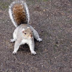 aufmerksames grauhörnchen