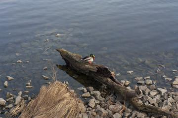 Duck drake in the lake photo. Mallard duck.