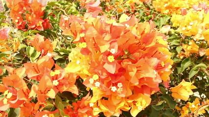 Yellow and Orange bougainvillea flowers in garden