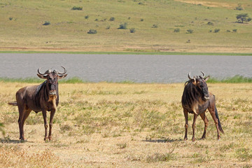 Couple of blue wildebeests in Ngorongoro