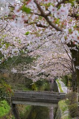 Kyoto cherry blossom - Philosopher's Walk
