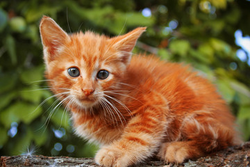 red kitten in a tree