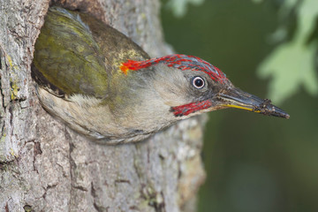 Male woodpecker ( Picus viridis ) out of the nest