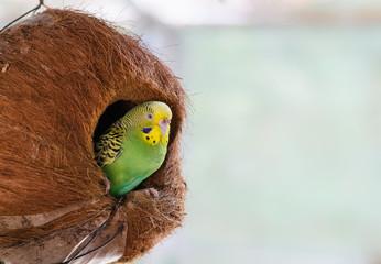 Green budgerigar in coconut nest