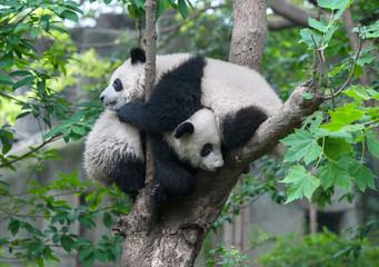 Two panda bears hugging in tree