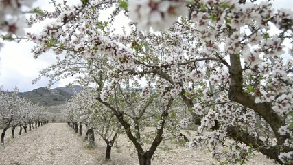 Almonds tree field close up