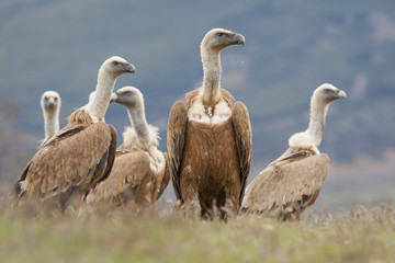 Spain, Griffon vulture in a detailed portrait