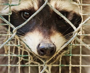 the sad  look of a raccon behind the cage