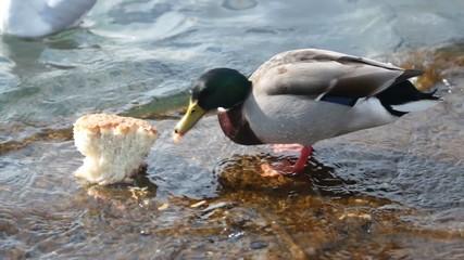 Duck eats the bread