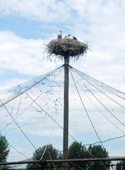 Coppia di cicogne nel nido
