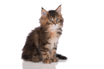 adorable maine coon kitten on white