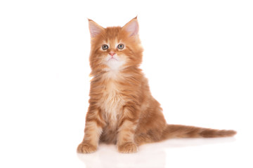 red maine coon kitten sitting on white