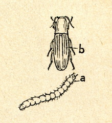 Click beetle adult and larva (wireworm)