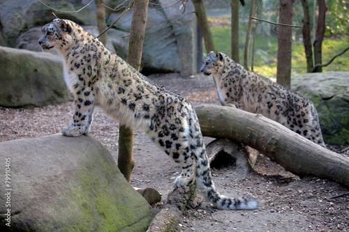 Canvas Luipaard Snow leopard Panthera uncia