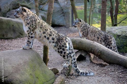 Fotobehang Luipaard Snow leopard Panthera uncia