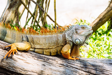 close up of iguana on wood log