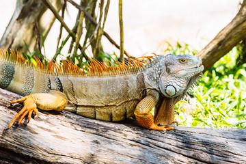 close up of iguana on wood log
