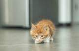 Lovable redhead kitten poster