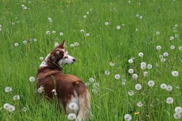 Hund auf der Pusteblumenwiese