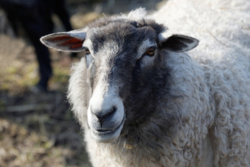One sheep white and gray