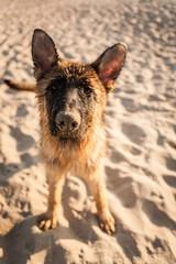 german shepard on the beach