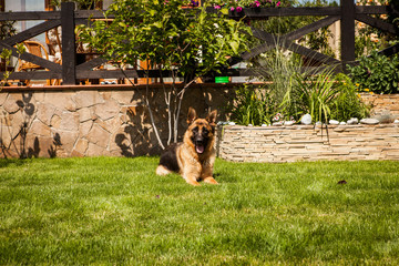 German shepard in grass