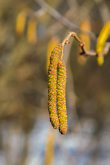 Two Alder Catkins Against The Forest.