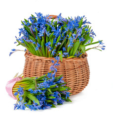 bifolia in basket isolated