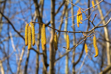 Alder Branch With Catkins Against The Sky And  Forest.
