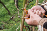 Binding a cane in a vineyard