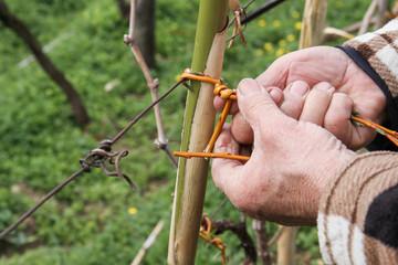 Binding a cane in a vineyard