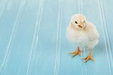 One baby chick chirping on a blue background