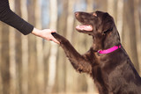 flat coated retriever dog giving paw