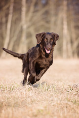 chocolate flat coated retriever dog running outdoors