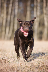 happy labrador retriever dog running outdoors